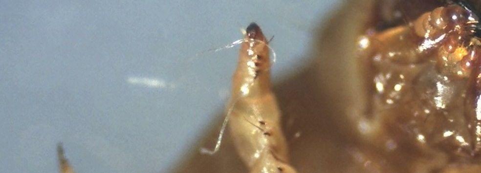 Mehlwurm Grossaufnahme