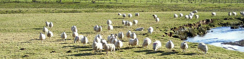 Hungry Sheep by Duneaton Water geograph org uk von Iain Thompson