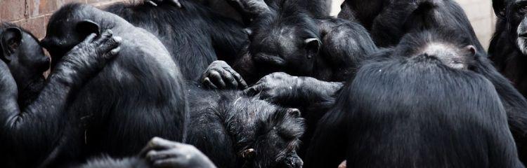 soziale Affen