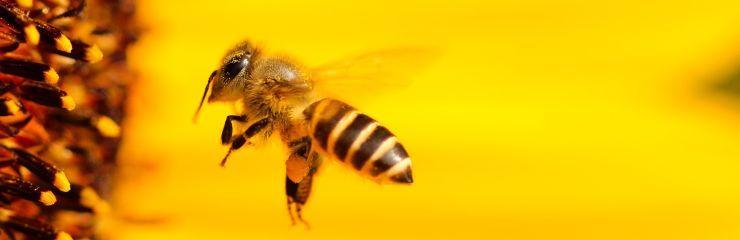 Biene auf der Suche nach Honig