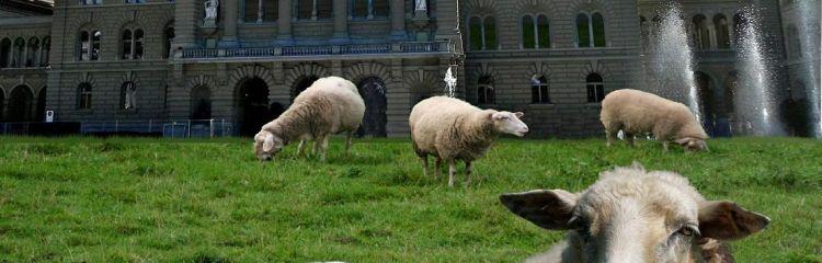 Schafe vor Bundeshaus