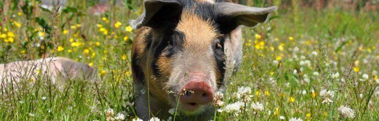 Schwein auf Blumenwiese