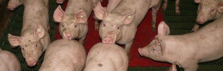 Schweine drinnen